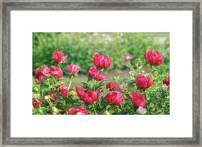 Peony Garden Framed Print