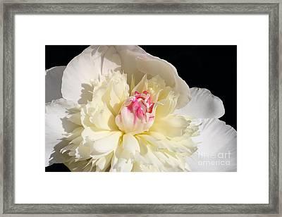 Peony Glow Framed Print by Steve Augustin