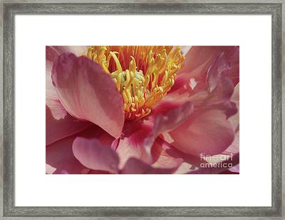 Peony In Peachy Pink Framed Print