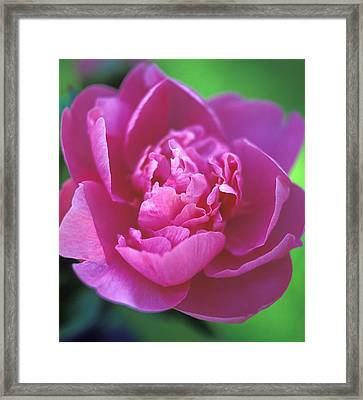 Peony In Pink Framed Print by Kathy Yates