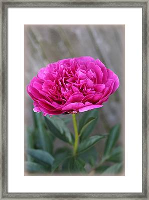 Peony Lovely In Magenta Framed Print by Dora Sofia Caputo Photographic Art and Design