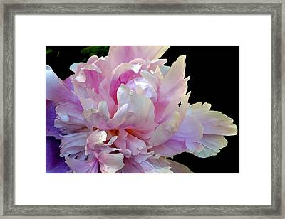 Peony On Black Framed Print