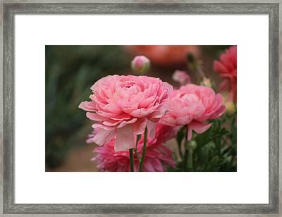 Peony Pink Ranunculus Closeup Framed Print