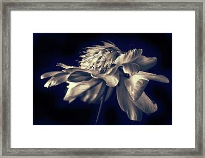 Peony Pirouette Framed Print by Jessica Jenney