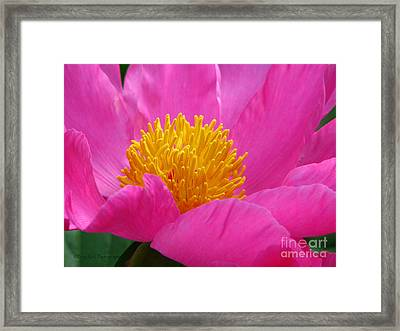 Peony Power Framed Print by Roxy Riou