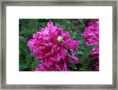 Peony Protege Framed Print by Alan Rutherford