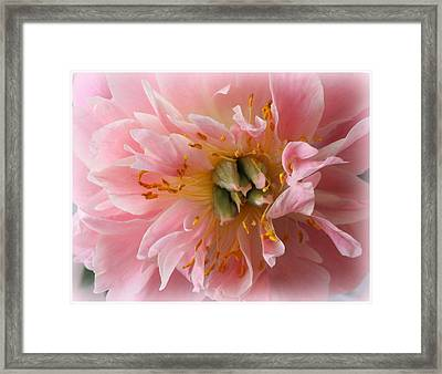 Peony Radiant In Pink Framed Print by Dora Sofia Caputo Photographic Art and Design