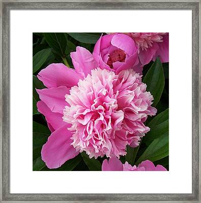 Peony With Ant Framed Print by Ellen B Pate