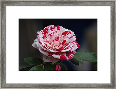 Peppermint Fantasy Framed Print by Helen Carson
