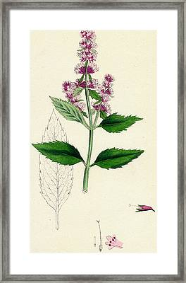 Peppermint Framed Print by Unknown