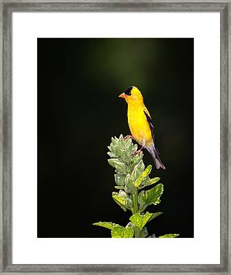 Perched American Goldfinch Framed Print
