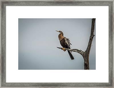 Perched Anhinga Framed Print