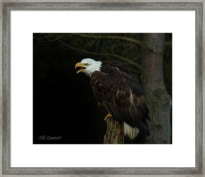 Perched Bald Eagle Framed Print by CR Courson
