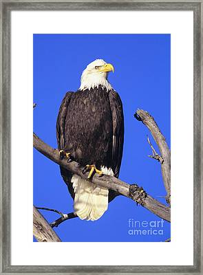 Perched Bald Eagle Framed Print by John Hyde - Printscapes