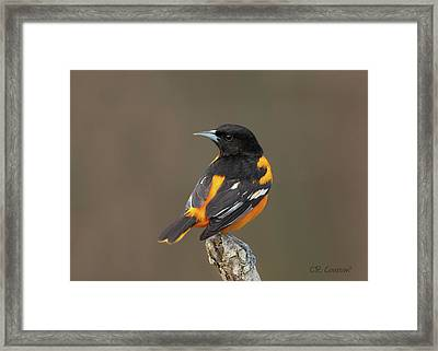 Perched Baltimore Oriole Framed Print