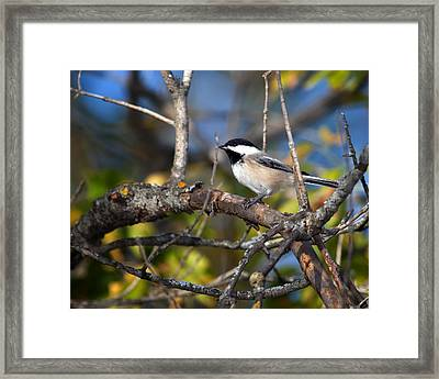 Perched Black-capped Chickadee Framed Print