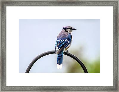Framed Print featuring the photograph Perched Blue Jay by Onyonet  Photo Studios