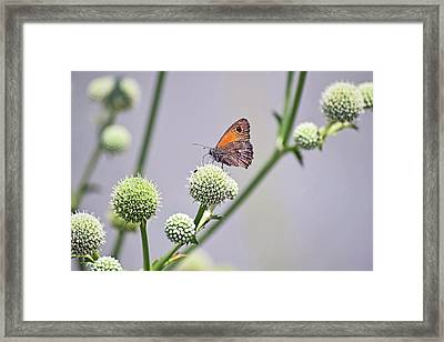 Perched Butterfly No. 255-1 Framed Print by Sandy Taylor