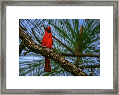 Perched Cardinal Framed Print