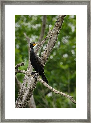 Framed Print featuring the photograph Perched Double-crested Cormorant by Steven Santamour