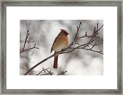 Perched Female Red Cardinal Framed Print by Debbie Oppermann