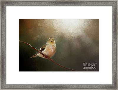Perched Goldfinch Framed Print by Darren Fisher