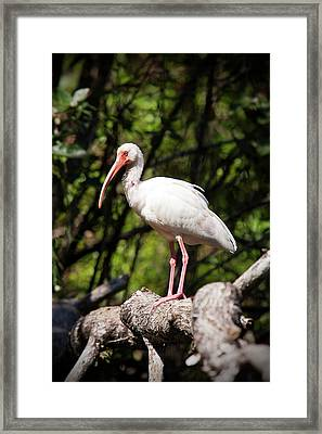Perched Ibis Framed Print by Nick  Shirghio