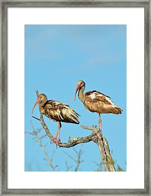 Perched White Ibises Framed Print by Bruce Gourley