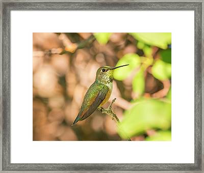 Perched Rufous Hummingbird Framed Print