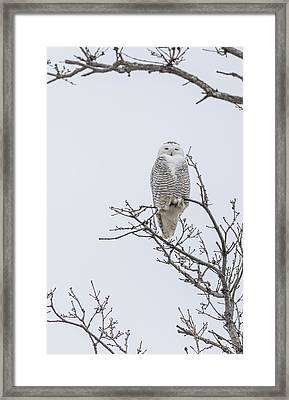 Perched Snowy Owl 2015-2 Framed Print by Thomas Young