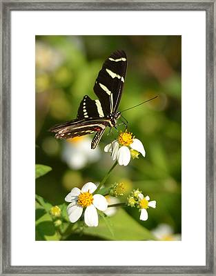 Perched Zebra Longwing Framed Print