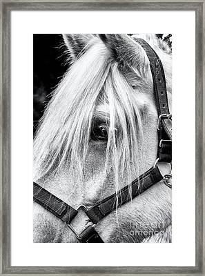 Percheron Horse Framed Print by Tim Gainey