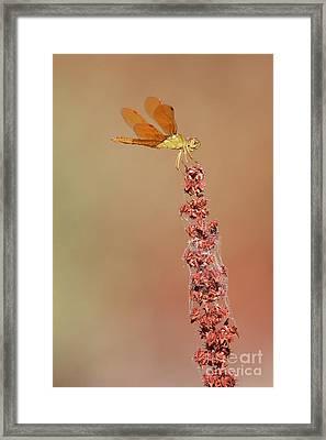 Perching Amberwing  Framed Print