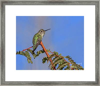 Perching Hummer Framed Print