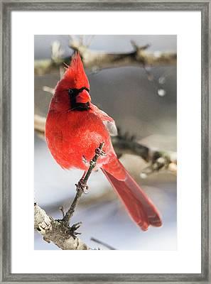 Perching Mister Cardinal Framed Print