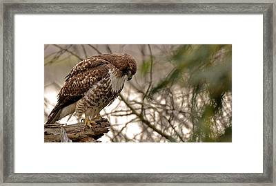 Perching Red Tail Hawk Framed Print