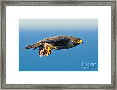 Peregrine Falcon 2 Framed Print by Michael  Nau