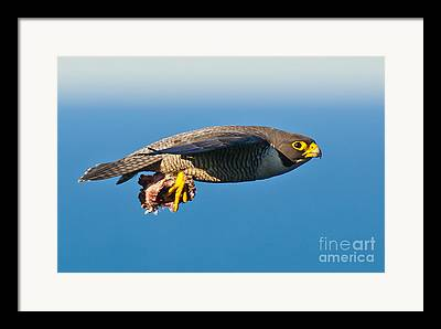 Fastest Bird In Canada Framed Prints