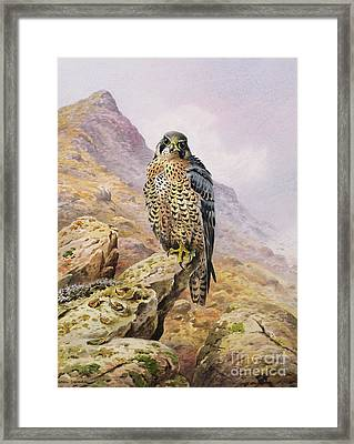 Peregrine Falcon Framed Print by Carl Donner