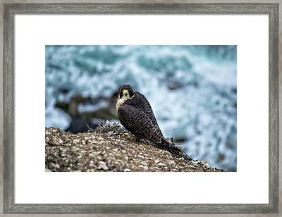 Peregrine Falcon - Here's Looking At You Framed Print