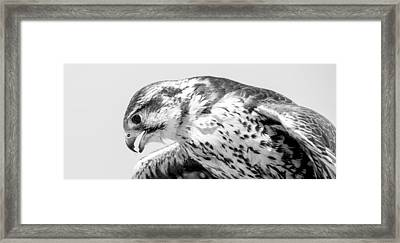 Peregrine Falcon In Black And White Framed Print