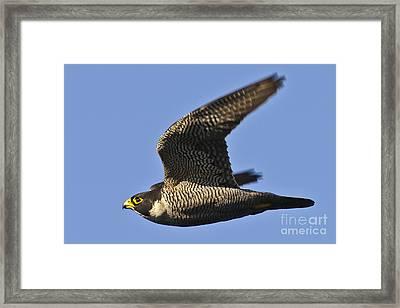 Peregrine Falcon In Flight 1 Framed Print
