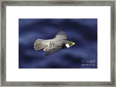 Peregrine Falcon Framed Print by Michael  Nau