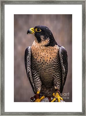 Peregrine Falcon Profile Framed Print