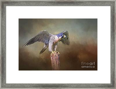 Peregrine Falcon Taking Flight Framed Print