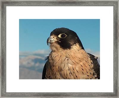 Peregrine Falcon Framed Print by Tim McCarthy