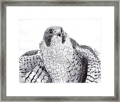 Peregrine Falcon Framed Print by Wade Clark