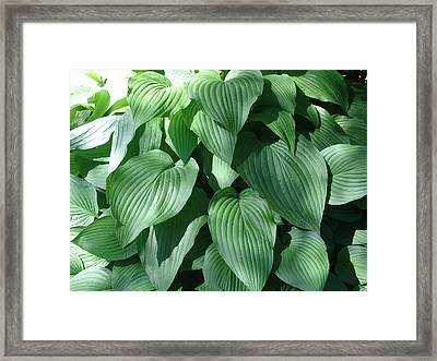 Perfect Hosta Framed Print by Rod Ismay