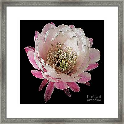 Perfect Pink And White Cactus Flower Framed Print