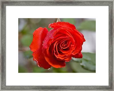 Perfect Red Rose Framed Print by Robert Joseph